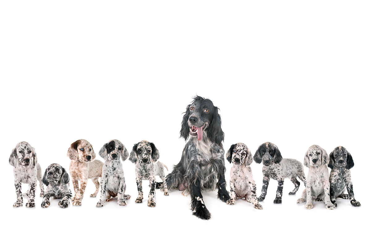 English setter with puppies